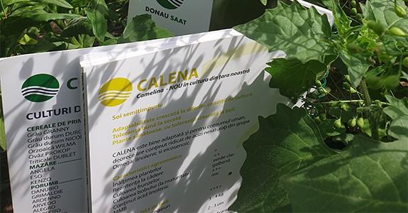 CEMELINA_cultivare-diverse